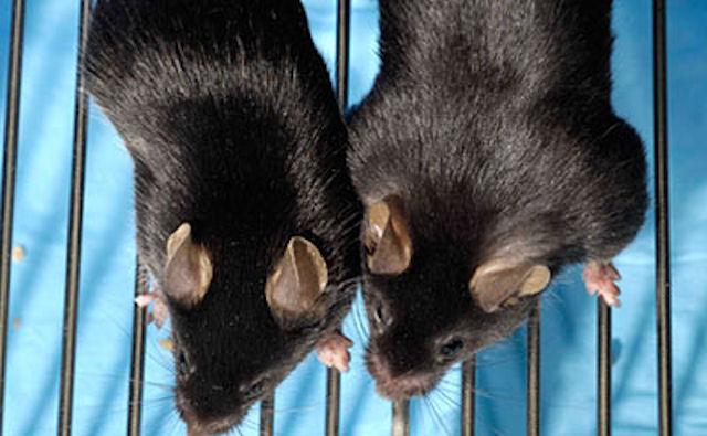 Кое-что о прогрессе мышиного «бодибилдинга»