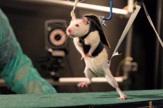 Компьютер позволил соединить мозги двух крыс