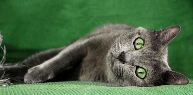Кошки породы Корат