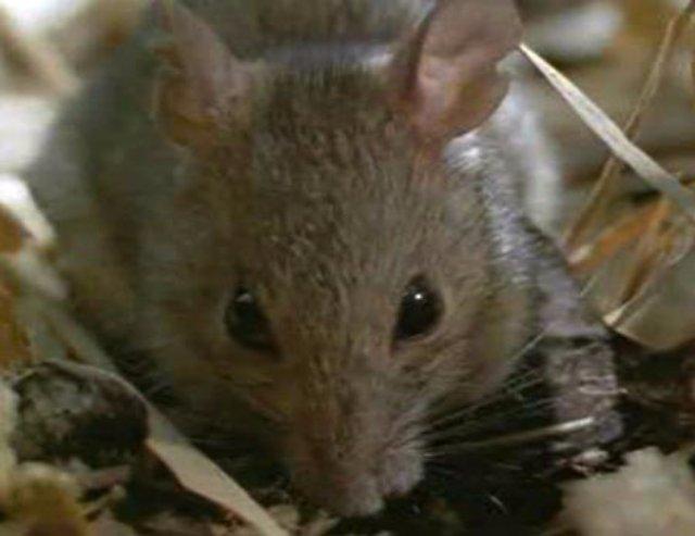 Крыс использовали для проведения эксперимента над людьми