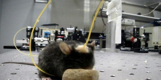 Мобильные телефоны оказывают негативное влияние на крысиную память