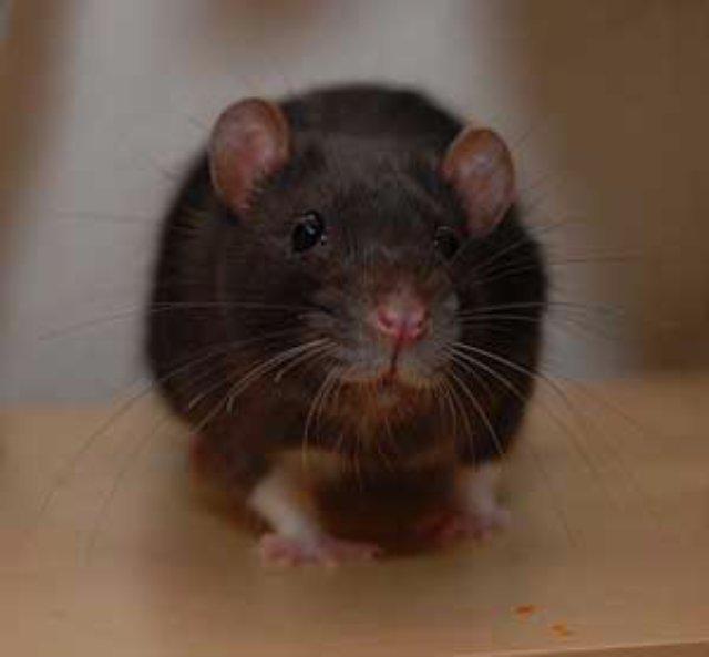 Крыс научили пользоваться граблями