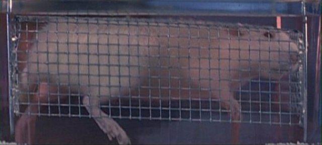 Крыс погрузили в воду