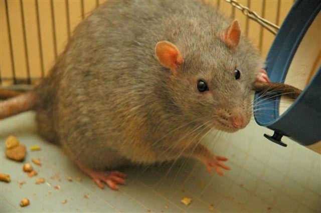 Крыса едва не погубила жительницу Австралии