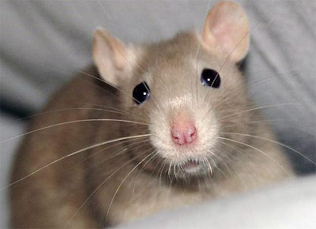 Крыса едва не убила хозяина