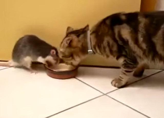 Крыса и кот едят из одной тарелки