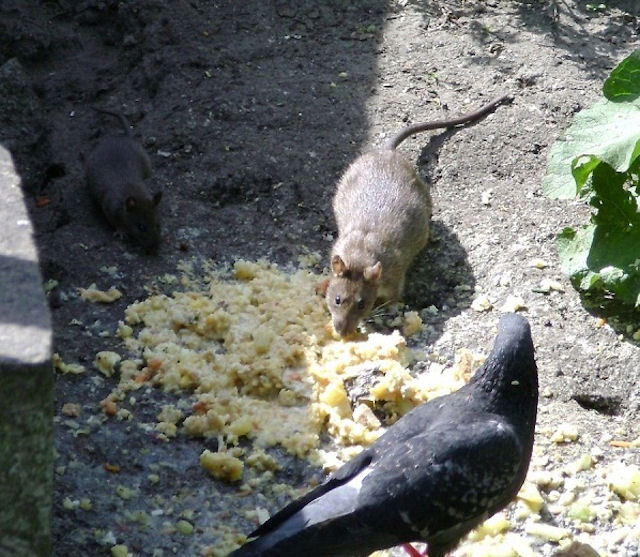 Крыса напала на одессита в людном месте