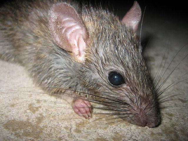 Крыса подожгла дом во Флориде