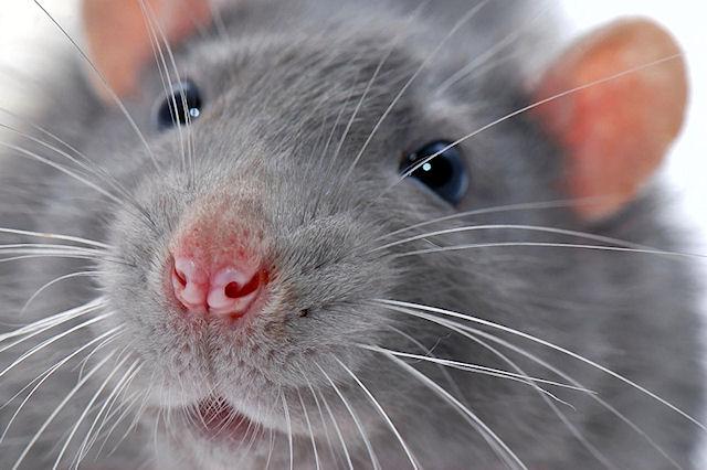 Крыса, которая должна была стать ужином питона, сама попробовала удава на вкус