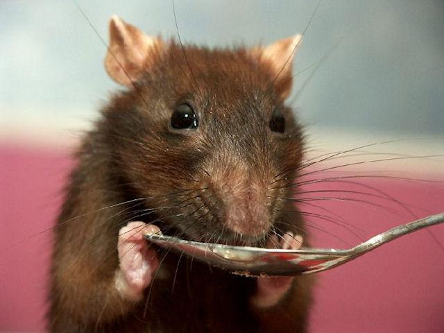 Крыса-сапер – умный и надежный товарищ человека