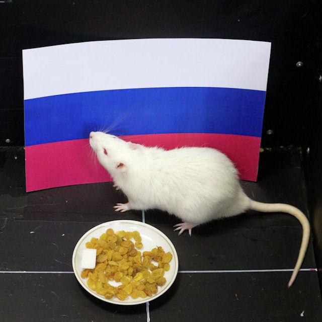 Крыса Шурик прогнозирует результаты игр на Олимпиаде в Сочи