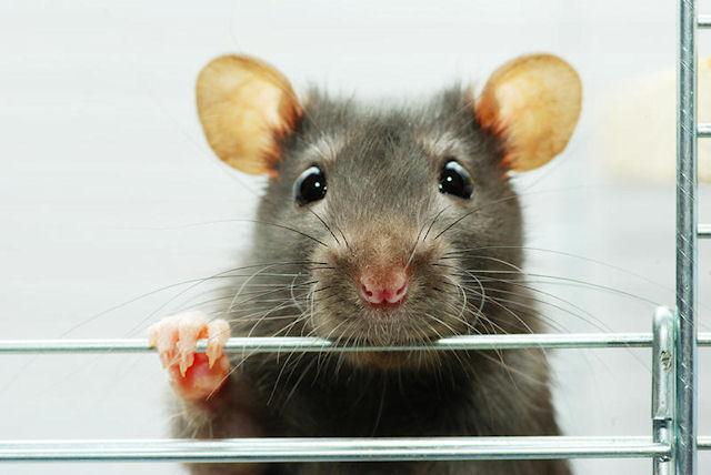 Крыса стала приёмной мамой для хомячков-сирот