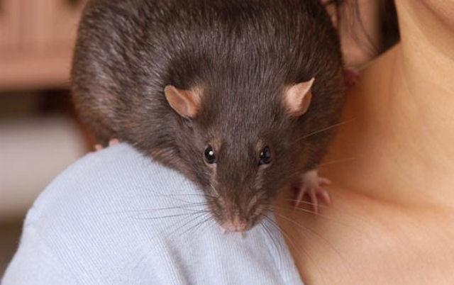Крыса стала виновницей стресса матери и ребёнка