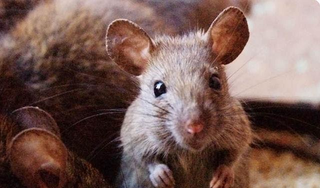 Крыса свела в могилу 3-х человек