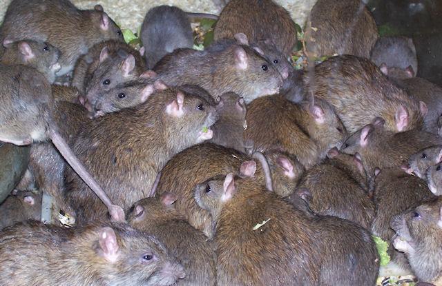 В Киеве бешеная крыса укусила ребенка