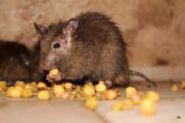 Крыса в салате повергла в шок мексиканца