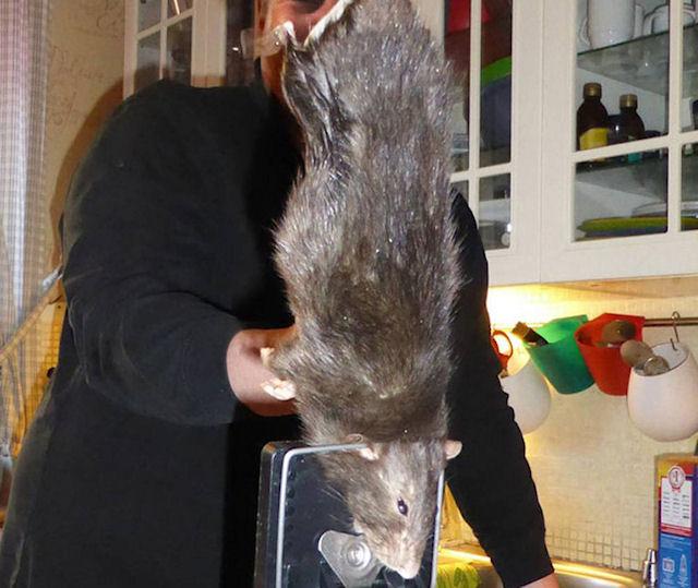 Гигантская крыса испугала жильцов дома в Швеции