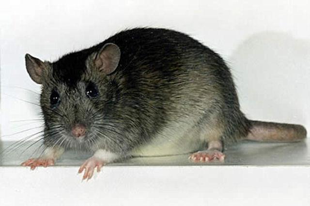 Крыса выжила после 4-х часов, проведённых в сушилке