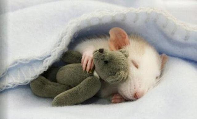 Крыса воспитывает осиротевших хомячков