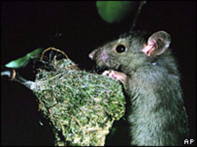 Крыса ввела ученых в недоумение