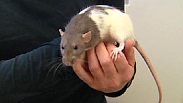 Крысе удалось избежать смертной казни