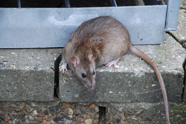 Крысий остров на Аляске лишился крыс