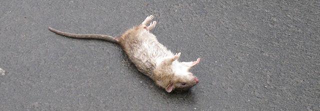В Петрозаводске жители требуют ликвидировать крысиную свалку