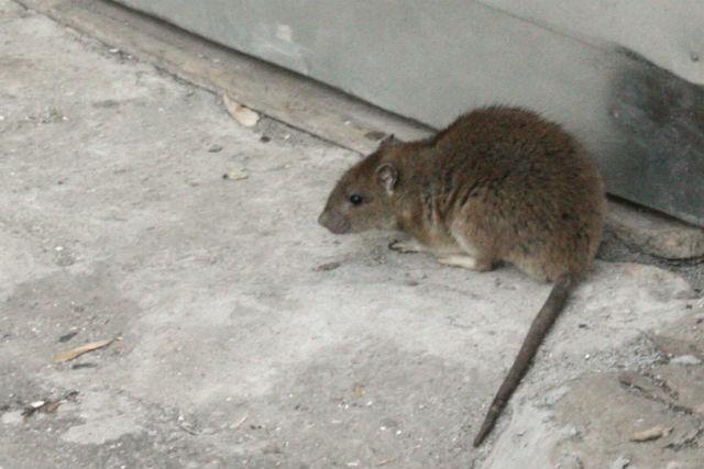 Крысу Ларису взяли в заложники из-за хозяйских долгов