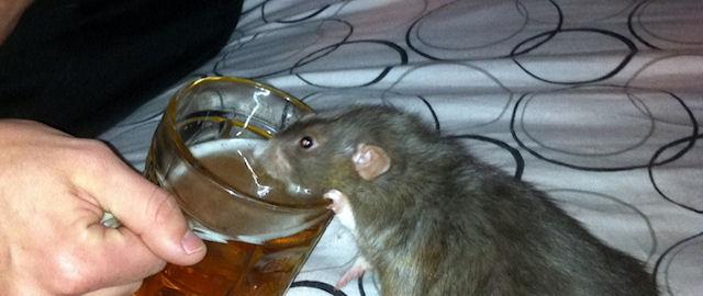 Крысы исцелились от алкогольной зависимости, «забыв» об алкоголе