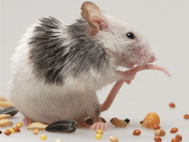Крысы атаковали исторический центр Милана