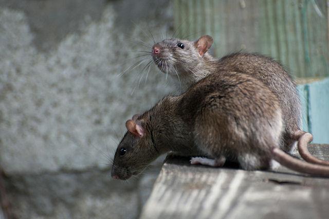 Крысы атакуют дома на юге Англии