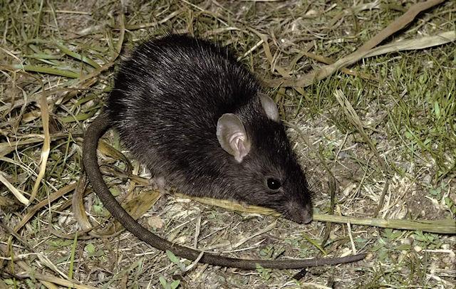 Крысы атакуют Красноярск