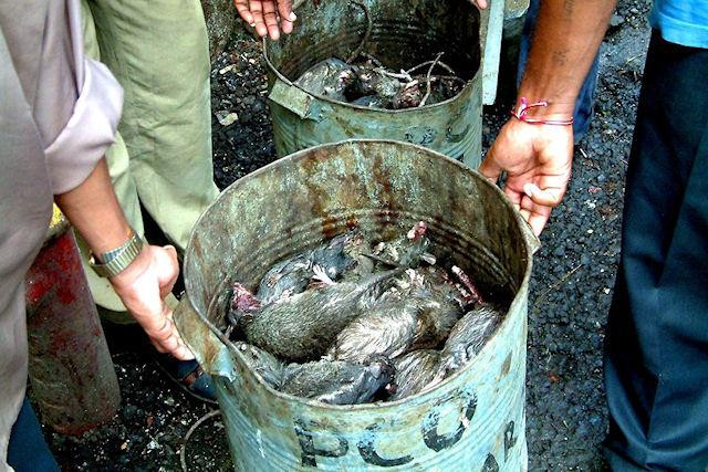 Мертвые крысы на набережной Благовещенска