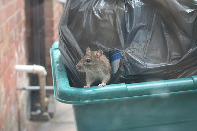 Крысы живут бок о бок с людьми