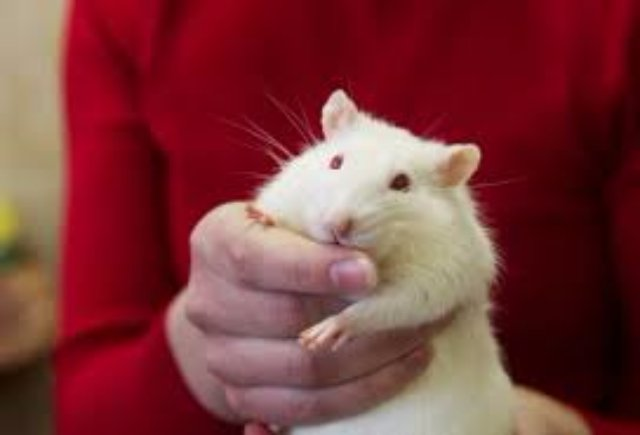 Крысы больше не будут бояться
