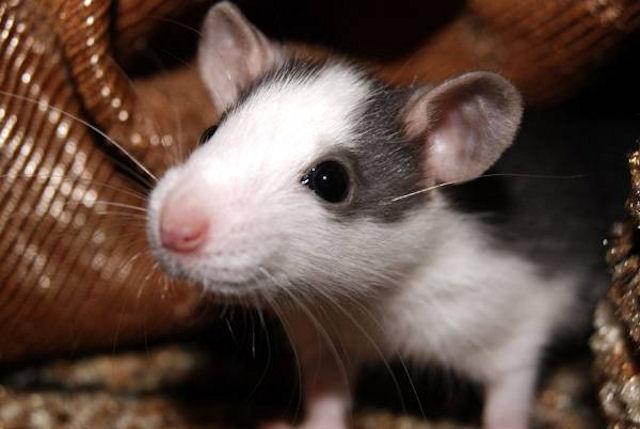 Крысы борются с утками за еду