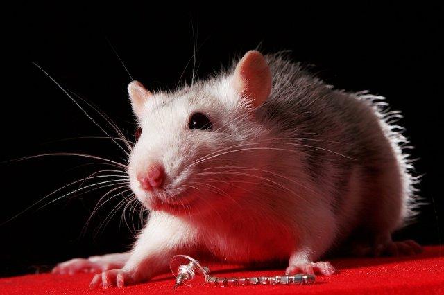 Крысы чувствительны к щекотке, - ученые
