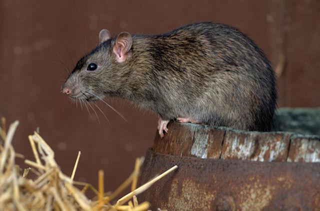 С крыс сняли обвинение за эпидемию чумы в XIV веке