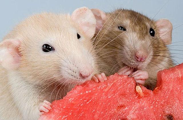 Крысы помогли разобраться в связи никотина и алкоголя