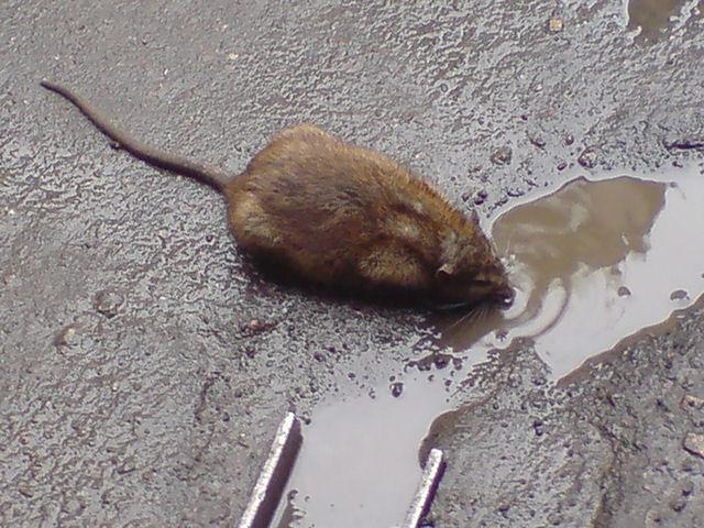 Крысы угрожают жителям Красноярска