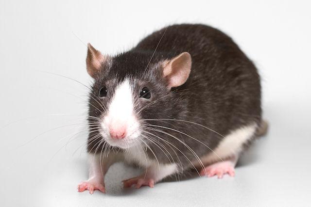 Крысы на 3 часа остановили работу на железнодорожной станции в Швеции