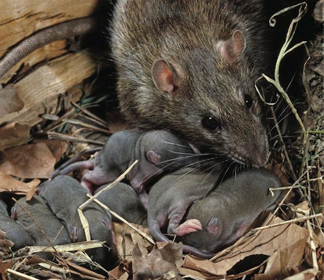 Крысы хозяйничают на Орлецкой набережной в Пскове