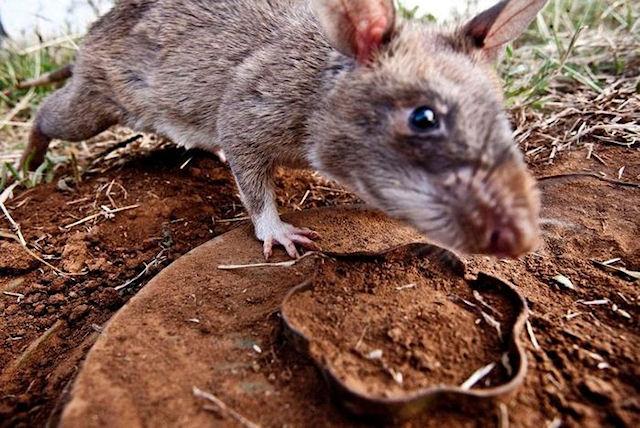 Крысы не позволили украсть ценности зоопарка