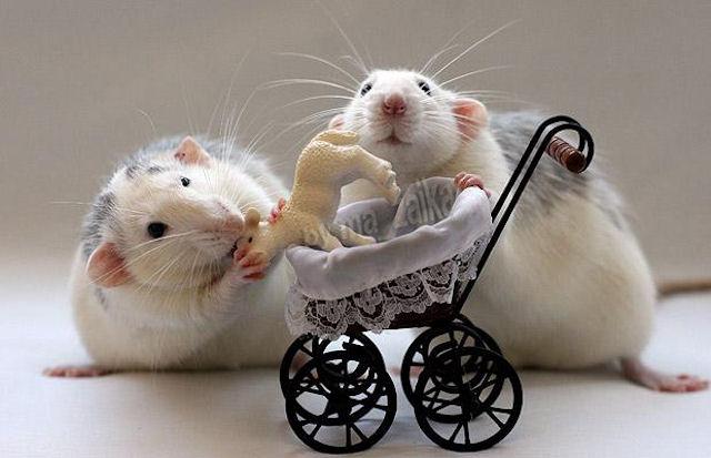 Крысы обладают человеческими чертами характера