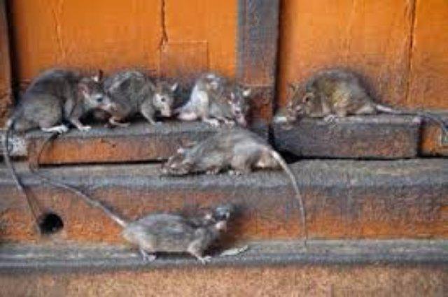 Крысы облюбовали посевы озимых культур в Твери