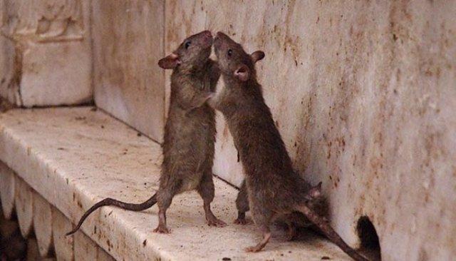 Крысы обожают человеческую кровь