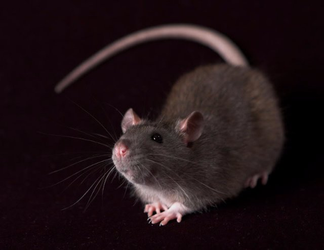 Крысы очень мстительны