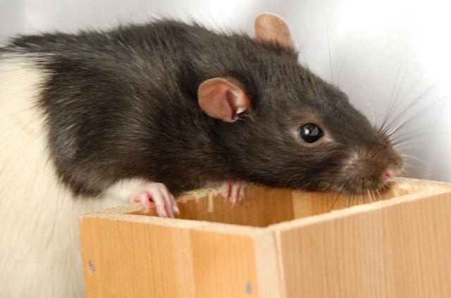 Крысы ориентируются в темноте благодаря усикам