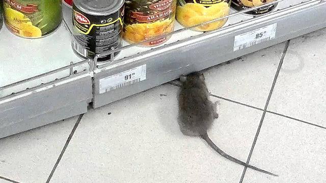 Крысы стали хозяевами подъездов одного из домов Тюмени