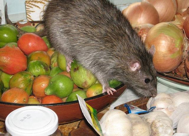 Крысы получили выращенные учеными пищеводы